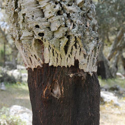 Korkeiche auf Sardinien