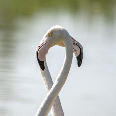 Chamarque-Flamingos