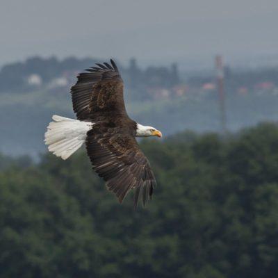 Seeadler Riegersburg