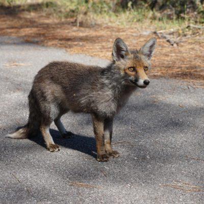 Maremma-Naturpark-Fuchs