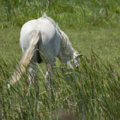 Pferde der Camarque