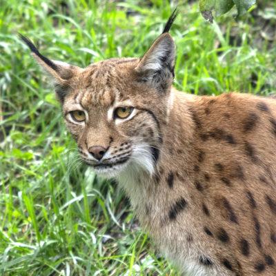 Luchs-Tierpark Mautern