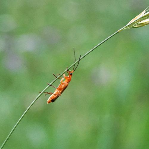 Insekt auf Grashalm