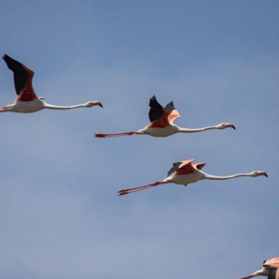Flamingos Camarque