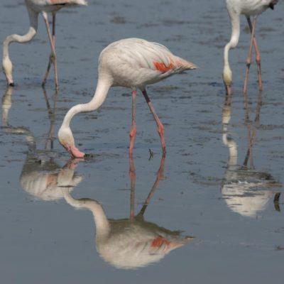 Flamingo Camarque